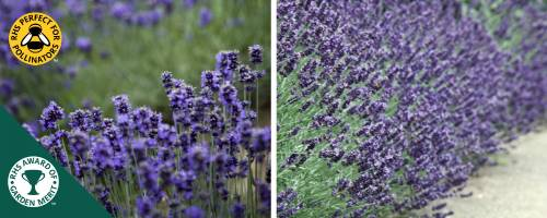 Lavender Imperial Gem