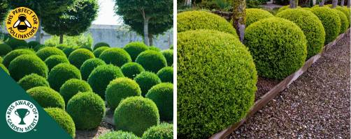 Ball shaped Box topiary