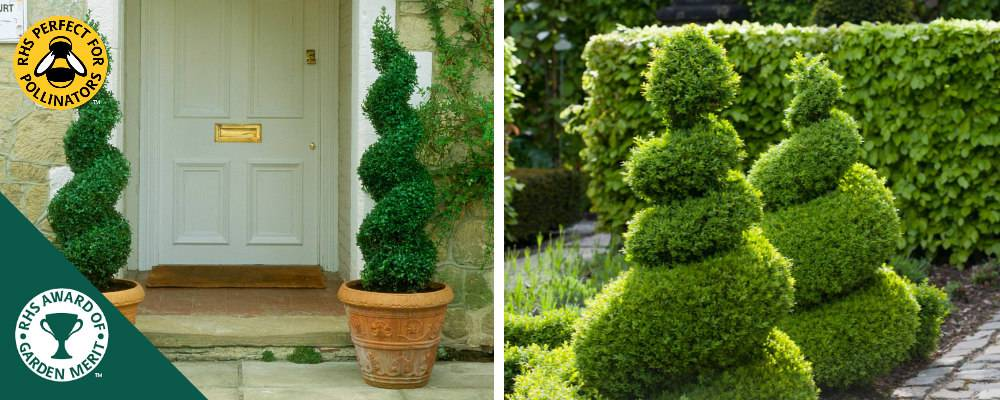 Spiral shaped Box Topiary