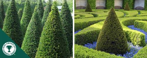 Cone shape Yew Topiary